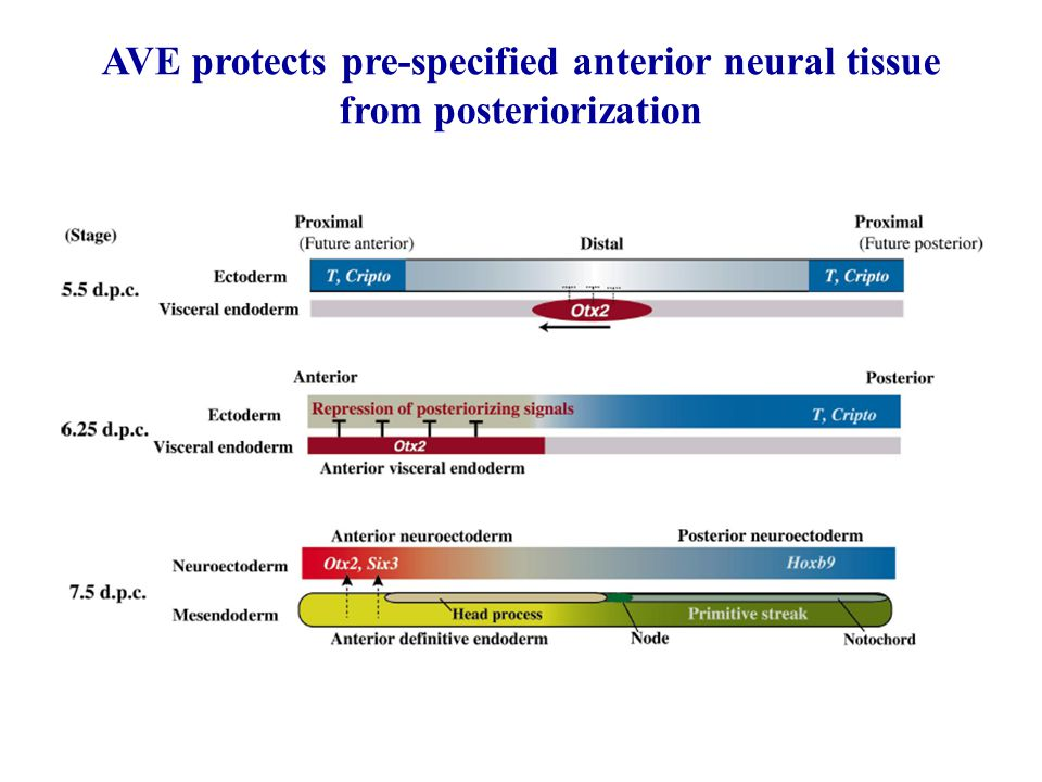 AVE protects pre-specified anterior neural tissue from posteriorization