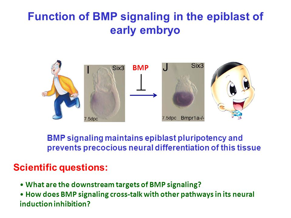 Function of BMP signaling in the epiblast of early embryo What are the downstream targets of BMP signaling? How does BMP signaling cross-talk with oth