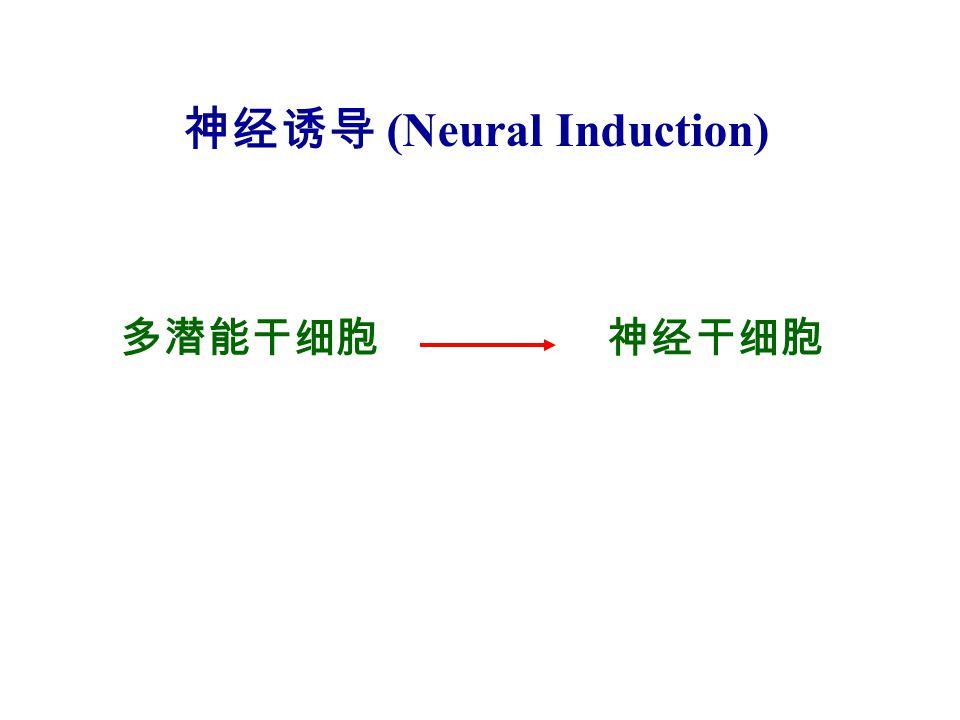 多潜能干细胞 神经诱导 (Neural Induction) 神经干细胞