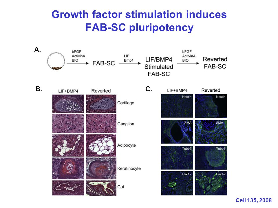 Growth factor stimulation induces FAB-SC pluripotency A. B.C. Cell 135, 2008