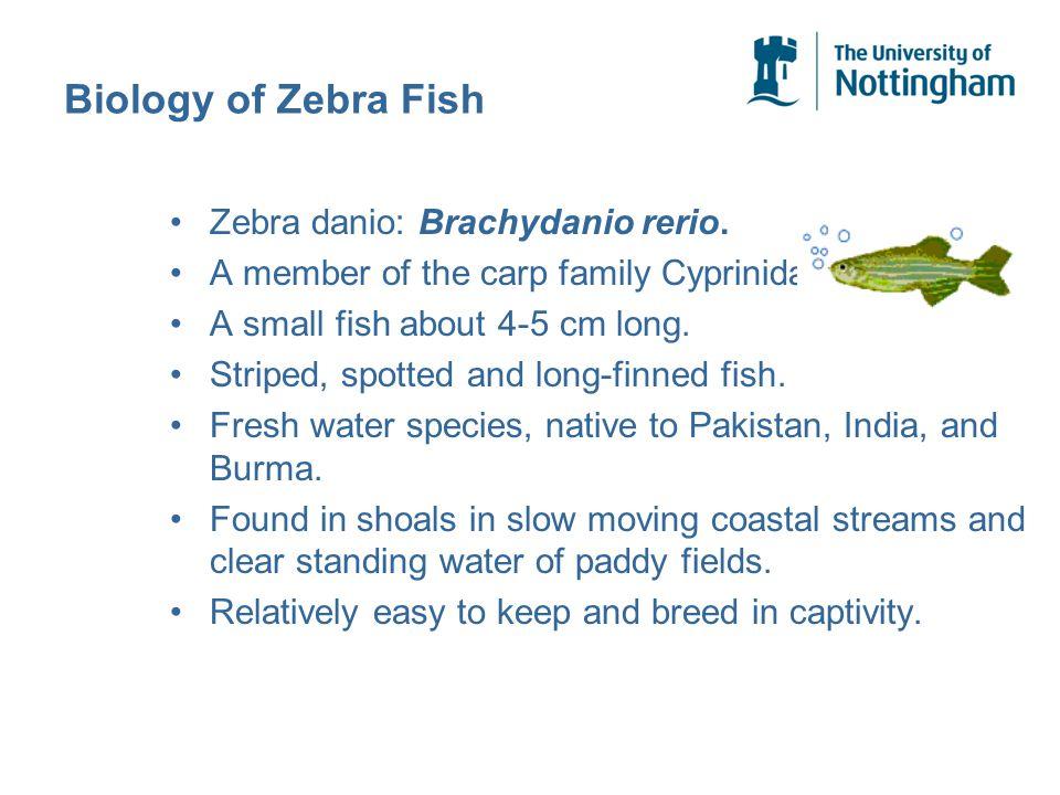 Biology of Zebra Fish Zebra danio: Brachydanio rerio.