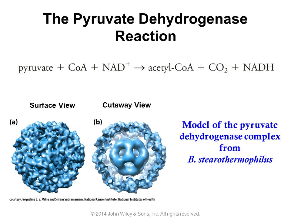 The Pyruvate Dehydrogenase Reaction Surface View Cutaway View Model of the pyruvate dehydrogenase complex from B. stearothermophilus © 2014 John Wiley