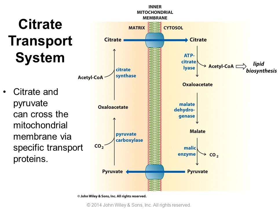 Citrate Transport System Citrate and pyruvate can cross the mitochondrial membrane via specific transport proteins. © 2014 John Wiley & Sons, Inc. All