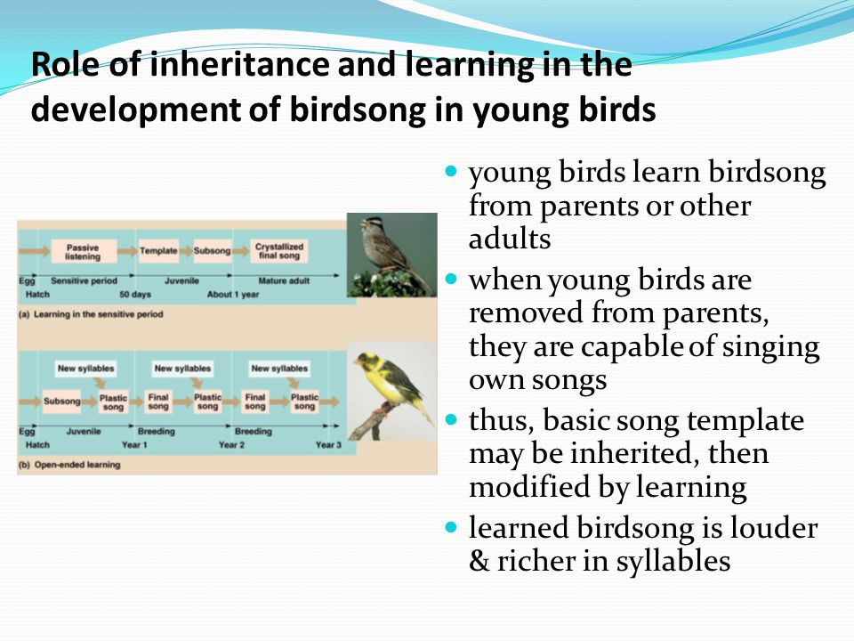 Role of inheritance and learning in the development of birdsong in young birds young birds learn birdsong from parents or other adults when young birds are removed from parents, they are capable of singing own songs thus, basic song template may be inherited, then modified by learning learned birdsong is louder & richer in syllables