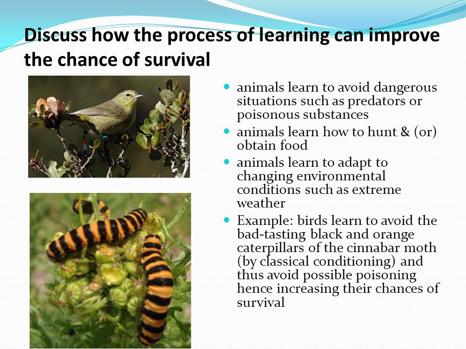 Discuss how the process of learning can improve the chance of survival animals learn to avoid dangerous situations such as predators or poisonous substances animals learn how to hunt & (or) obtain food animals learn to adapt to changing environmental conditions such as extreme weather Example: birds learn to avoid the bad-tasting black and orange caterpillars of the cinnabar moth (by classical conditioning) and thus avoid possible poisoning hence increasing their chances of survival