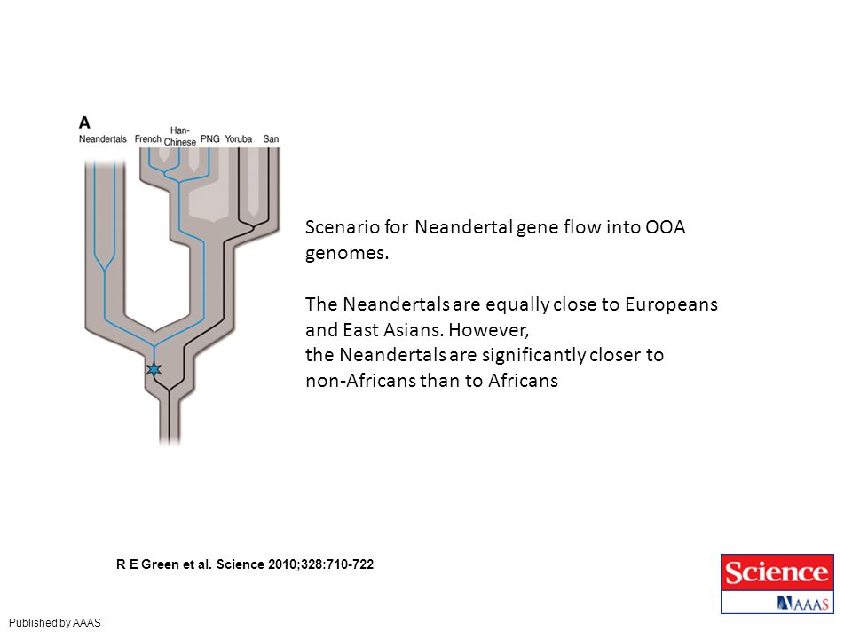 R E Green et al. Science 2010;328:710-722 Published by AAAS Scenario for Neandertal gene flow into OOA genomes. The Neandertals are equally close to E