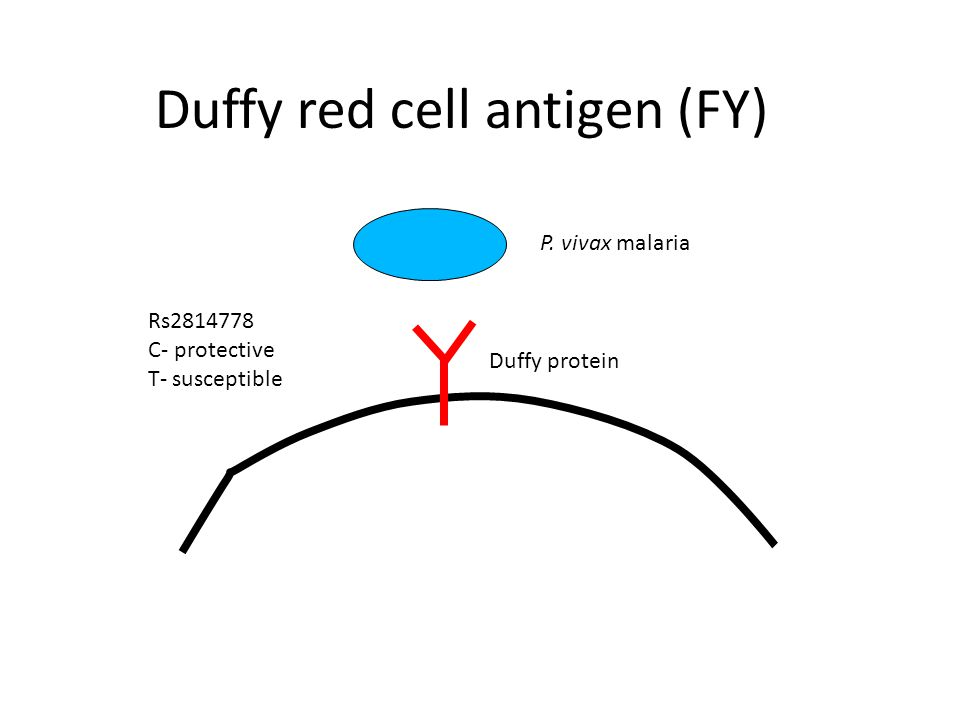 Duffy red cell antigen (FY) P. vivax malaria Duffy protein Rs2814778 C- protective T- susceptible