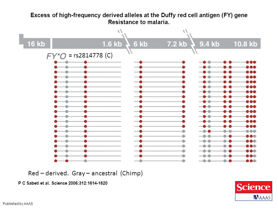 Excess of high-frequency derived alleles at the Duffy red cell antigen (FY) gene Resistance to malaria.