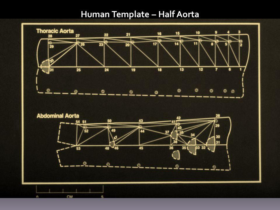 Human Template – Half Aorta
