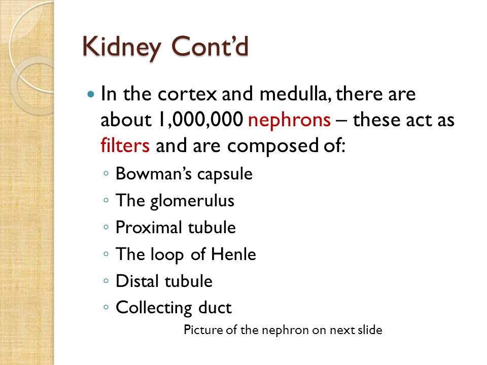 Kidney Cont'd In the cortex and medulla, there are about 1,000,000 nephrons – these act as filters and are composed of: ◦ Bowman's capsule ◦ The glome