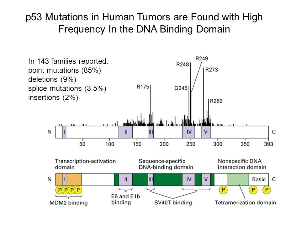 p53 Mutations in Human Tumors are Found with High Frequency In the DNA Binding Domain In 143 families reported: point mutations (85%) deletions (9%) splice mutations (3.5%) insertions (2%)