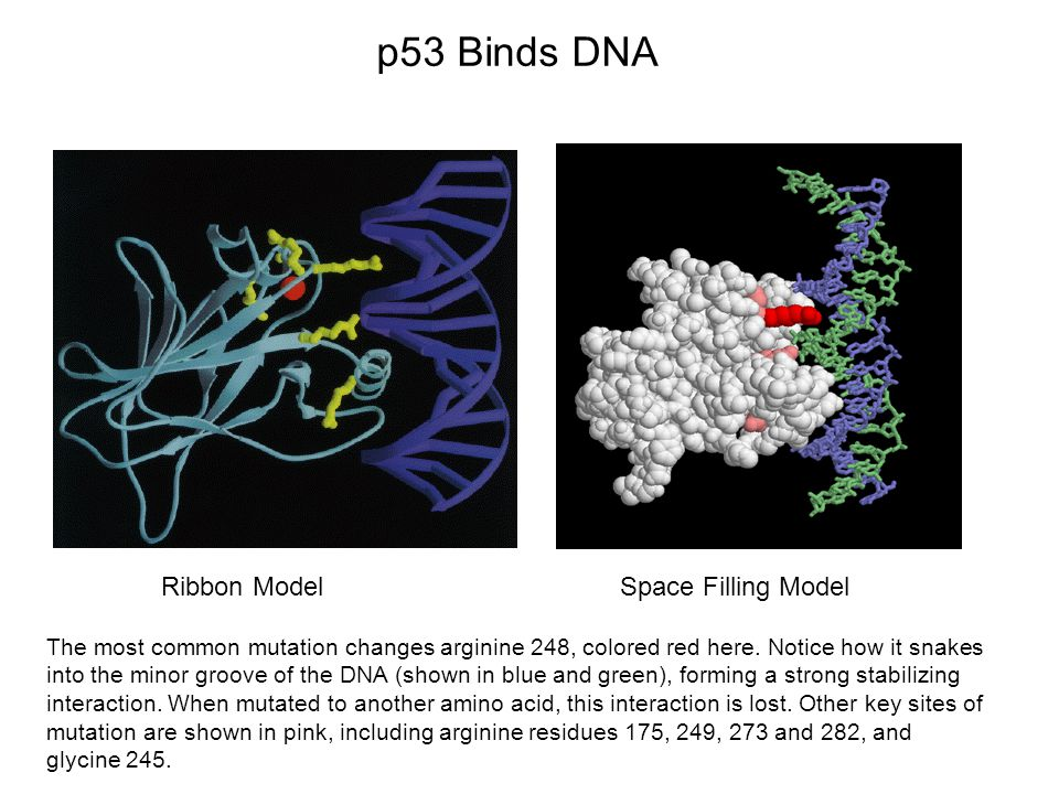 Ribbon ModelSpace Filling Model p53 Binds DNA The most common mutation changes arginine 248, colored red here.