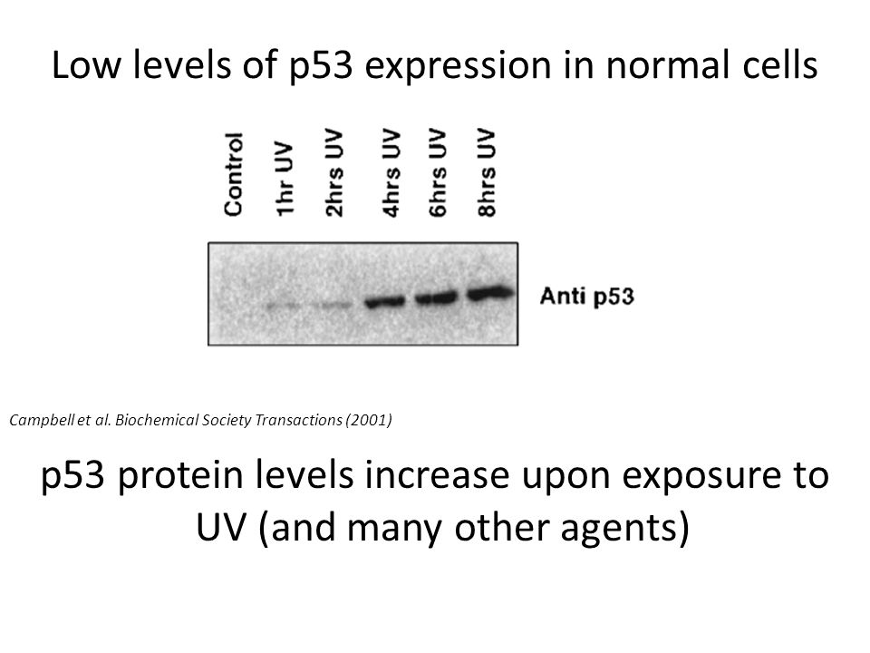 Low levels of p53 expression in normal cells p53 protein levels increase upon exposure to UV (and many other agents) Campbell et al.