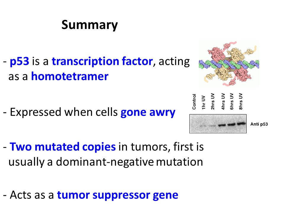 - p53 is a transcription factor, acting as a homotetramer Summary - Expressed when cells gone awry - Two mutated copies in tumors, first is usually a dominant-negative mutation - Acts as a tumor suppressor gene
