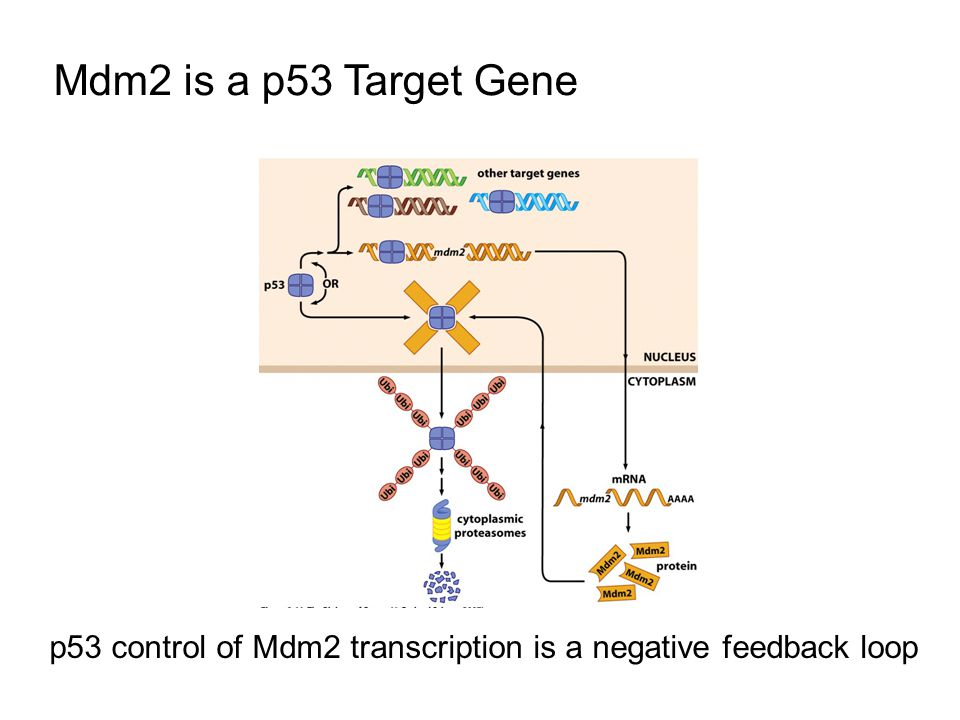 Mdm2 is a p53 Target Gene p53 control of Mdm2 transcription is a negative feedback loop