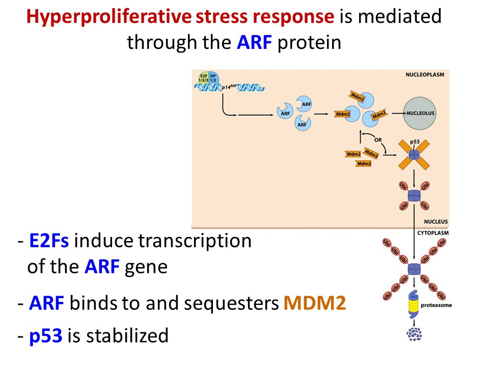 Hyperproliferative stress response is mediated through the ARF protein - E2Fs induce transcription of the ARF gene - ARF binds to and sequesters MDM2 - p53 is stabilized