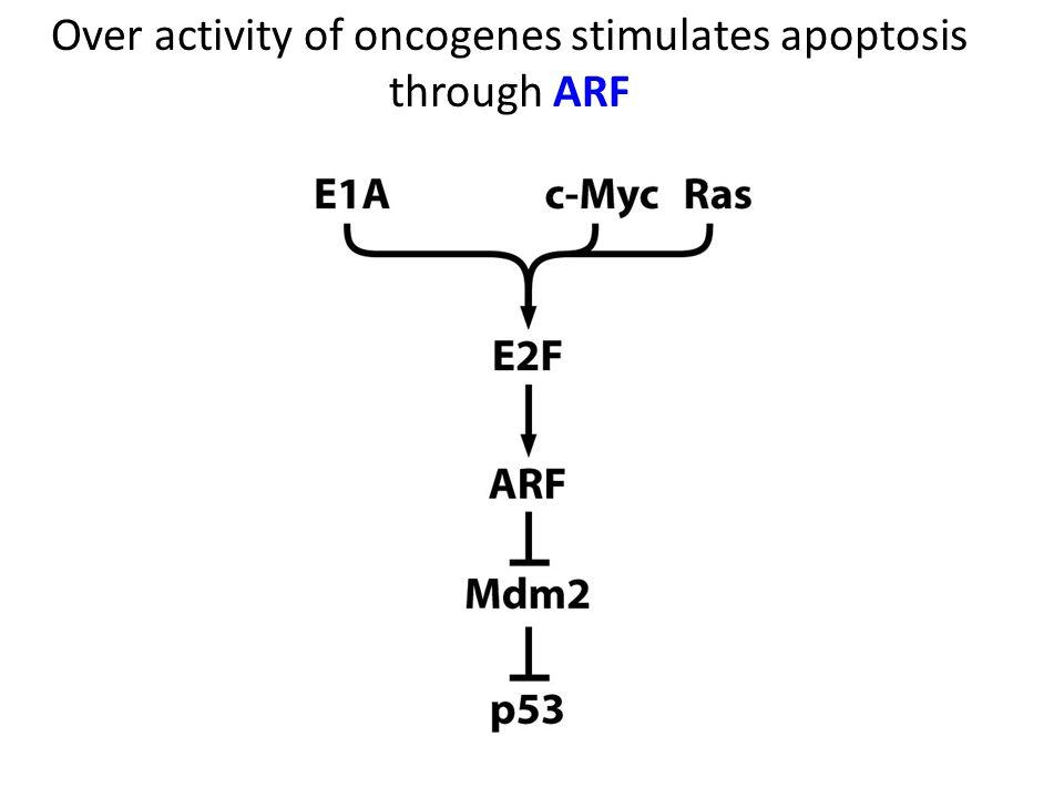 Over activity of oncogenes stimulates apoptosis through ARF
