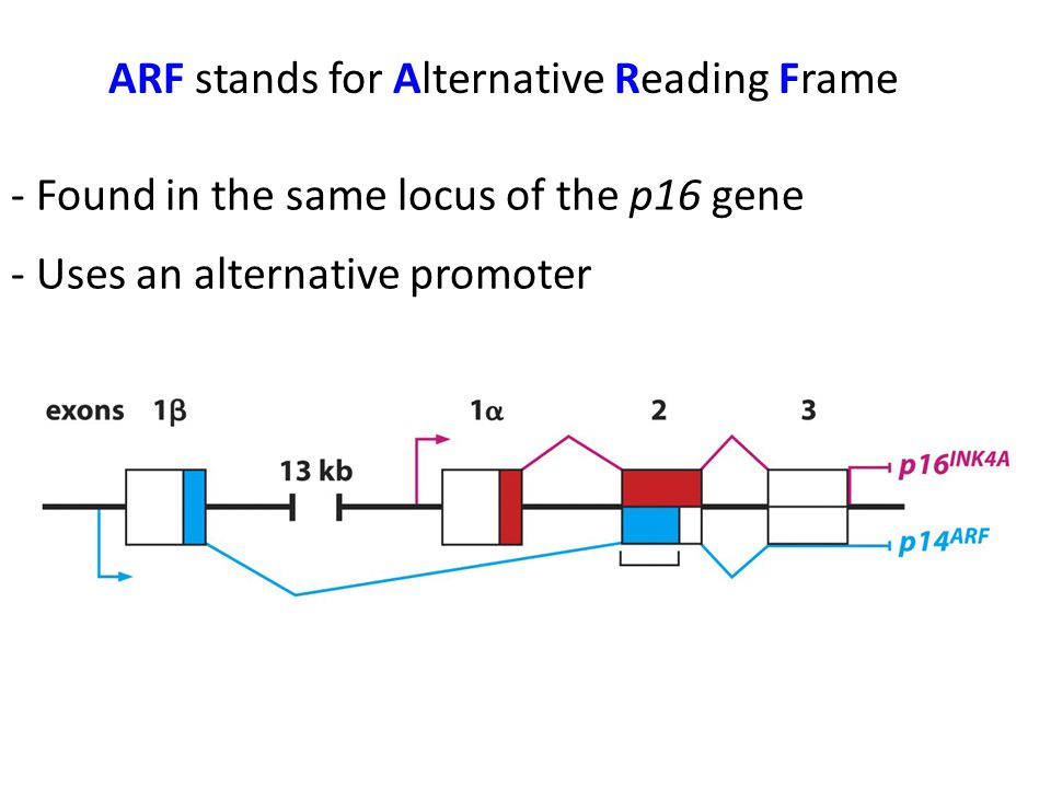 ARF stands for Alternative Reading Frame - Found in the same locus of the p16 gene - Uses an alternative promoter