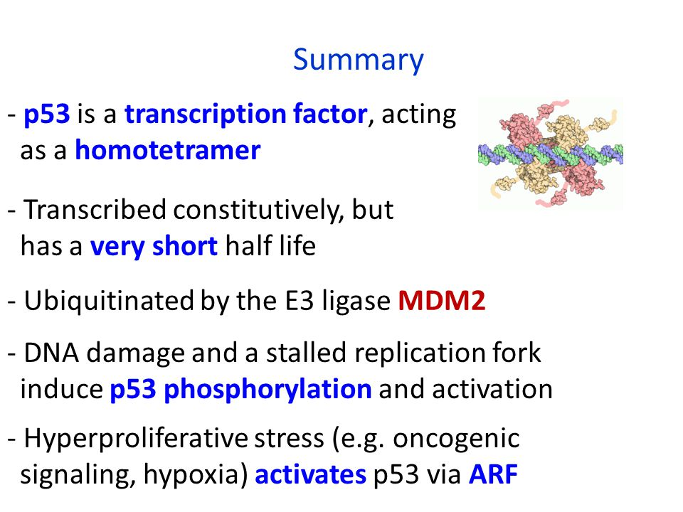 - p53 is a transcription factor, acting as a homotetramer Summary - Transcribed constitutively, but has a very short half life - DNA damage and a stalled replication fork induce p53 phosphorylation and activation - Hyperproliferative stress (e.g.