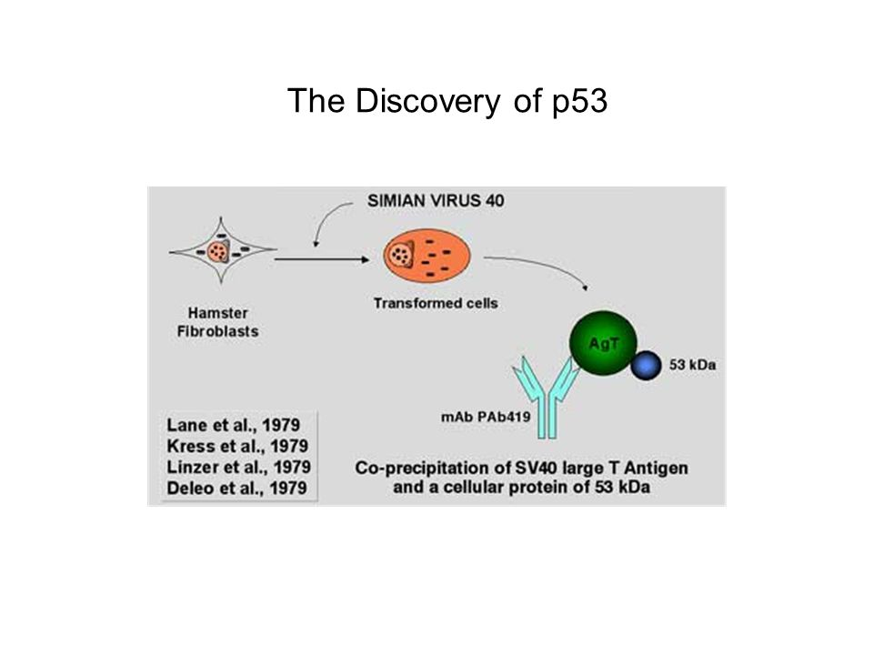 The Discovery of p53
