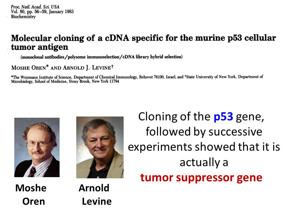 Cloning of the p53 gene, followed by successive experiments showed that it is actually a tumor suppressor gene Moshe Oren Arnold Levine