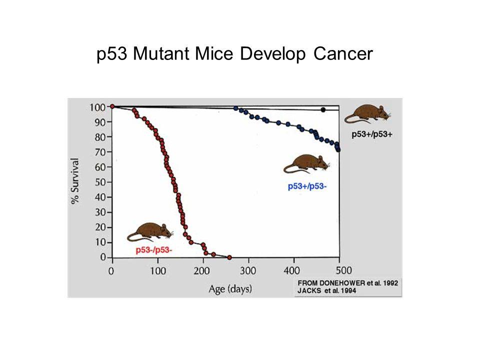 p53 Mutant Mice Develop Cancer