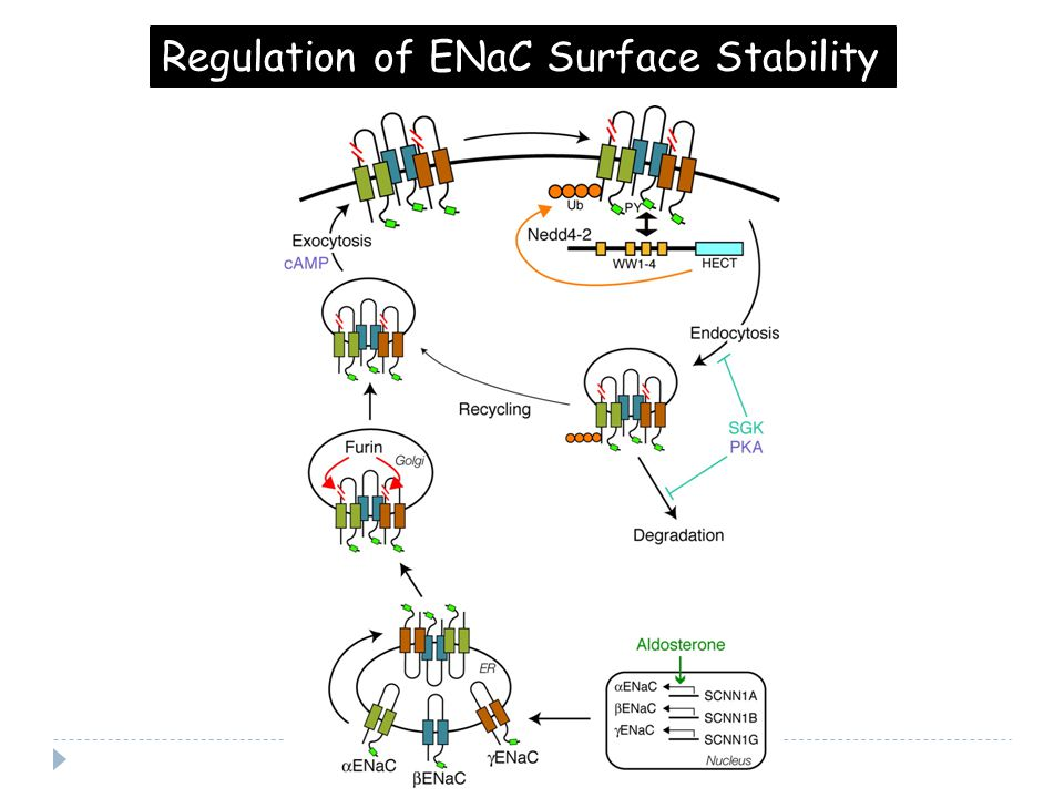 Regulation of ENaC Surface Stability