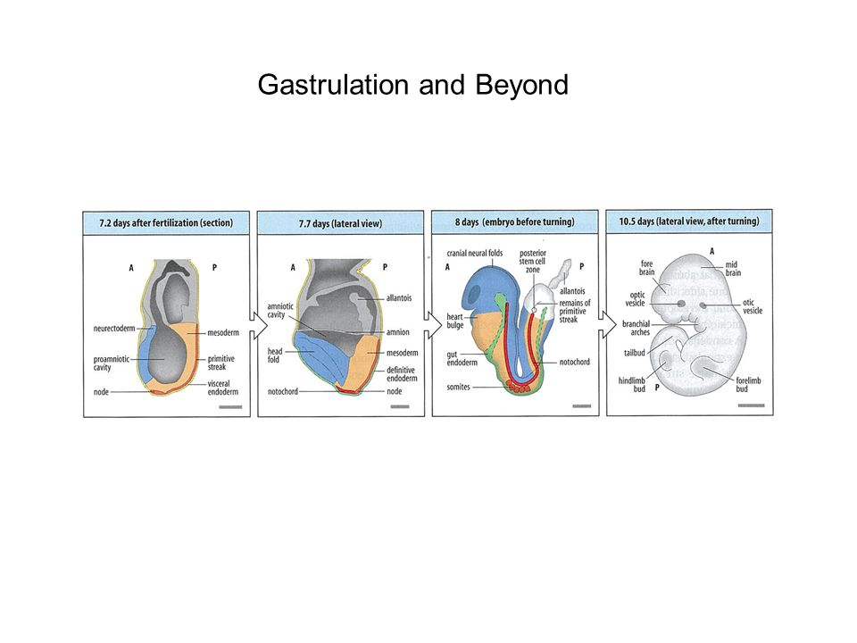 Gastrulation and Beyond