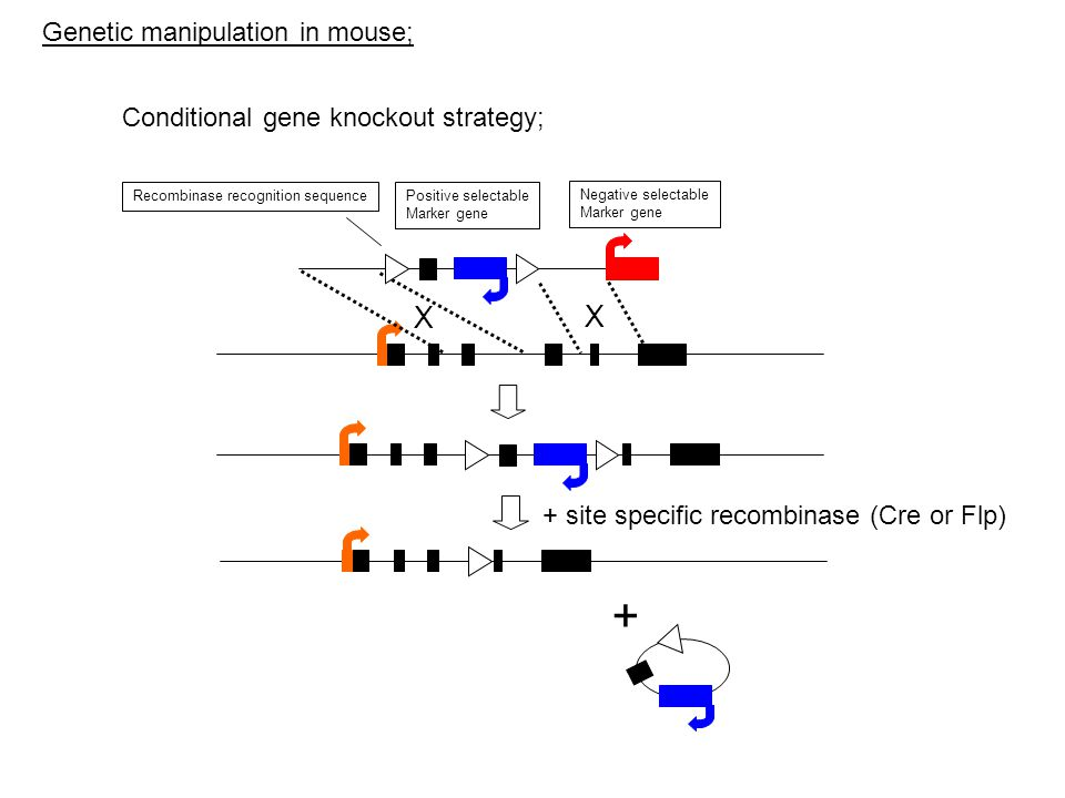 Positive selectable Marker gene Negative selectable Marker gene X X + site specific recombinase (Cre or Flp) + Recombinase recognition sequence Conditional gene knockout strategy; Genetic manipulation in mouse;