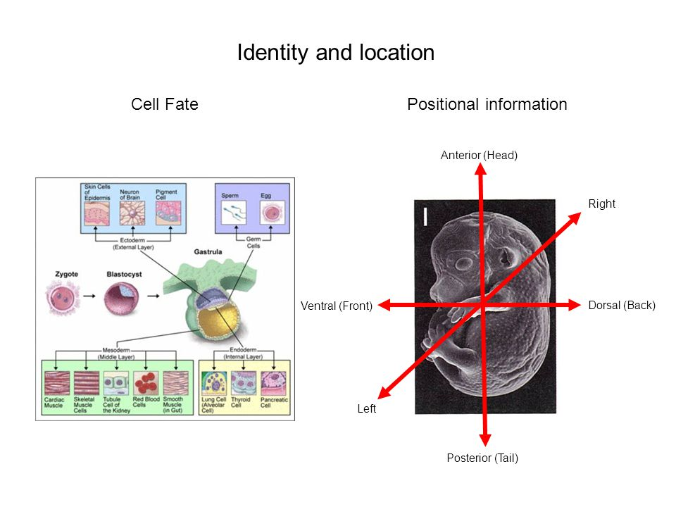 Positional informationCell Fate Anterior (Head) Posterior (Tail) Dorsal (Back) Ventral (Front) Left Right Identity and location
