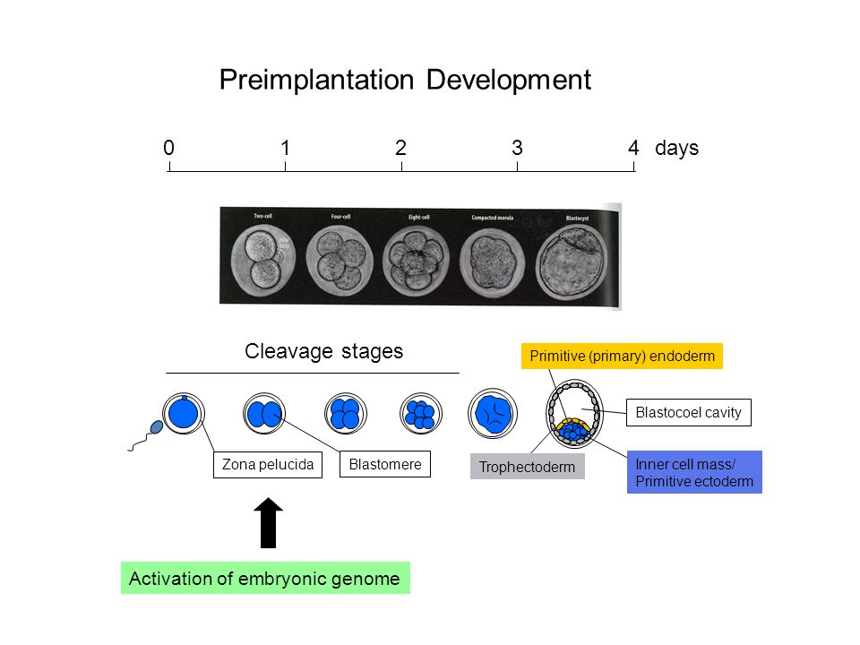 Preimplantation Development Trophectoderm Primitive (primary) endoderm Inner cell mass/ Primitive ectoderm Cleavage stages Zona pelucida Blastocoel cavity Activation of embryonic genome Blastomere 01234 days