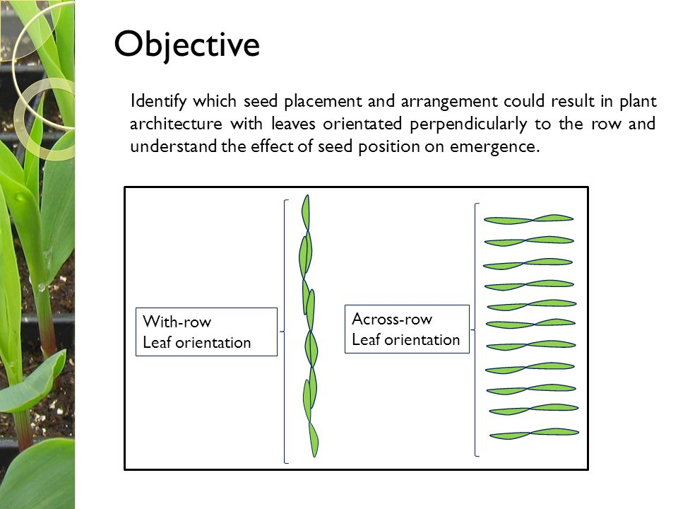 Objective Identify which seed placement and arrangement could result in plant architecture with leaves orientated perpendicularly to the row and under