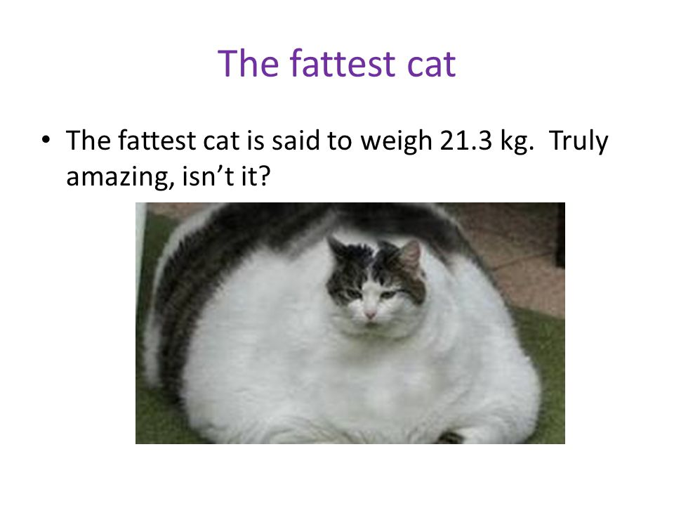 The fattest cat The fattest cat is said to weigh 21.3 kg. Truly amazing, isn't it?