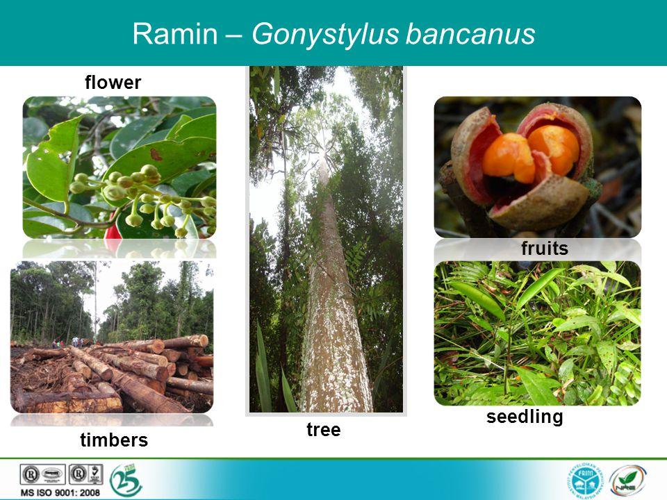 fruits seedling flower timbers tree Ramin – Gonystylus bancanus
