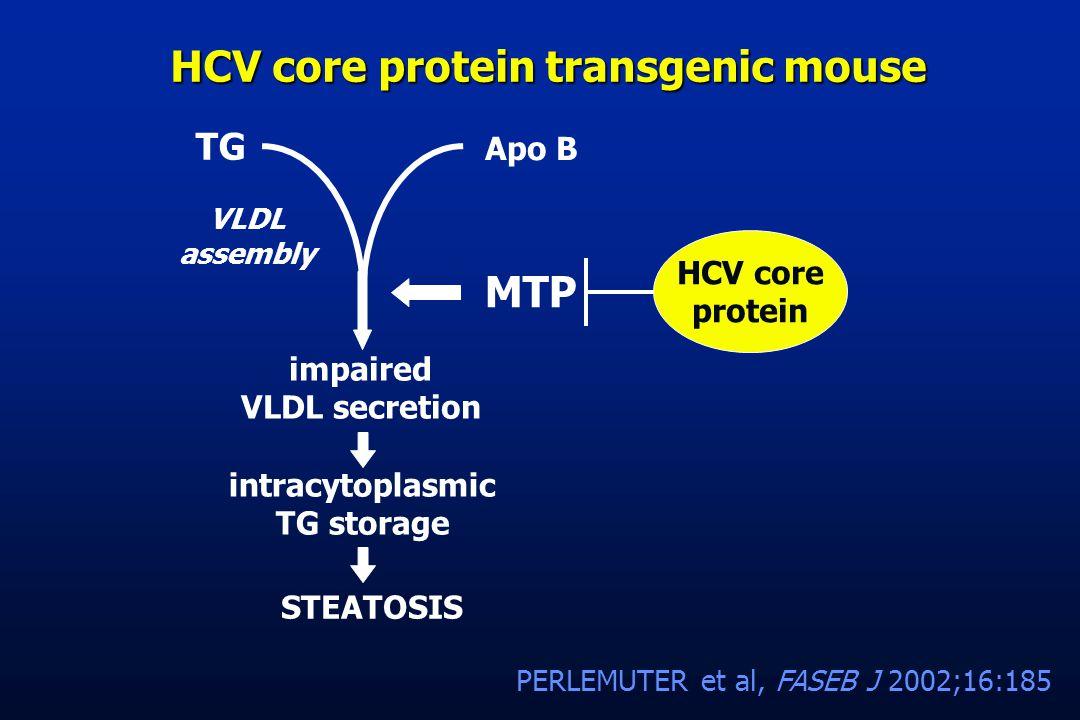 HCV core protein transgenic mouse MTP intracytoplasmic TG storage STEATOSIS HCV core protein VLDL assembly impaired VLDL secretion TG Apo B PERLEMUTER et al, FASEB J 2002;16:185