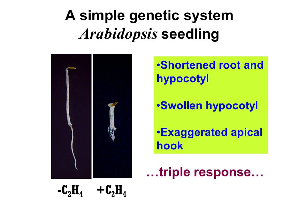 A simple genetic system Arabidopsis seedling -C 2 H 4 Shortened root and hypocotyl Swollen hypocotyl Exaggerated apical hook …triple response… +C 2 H