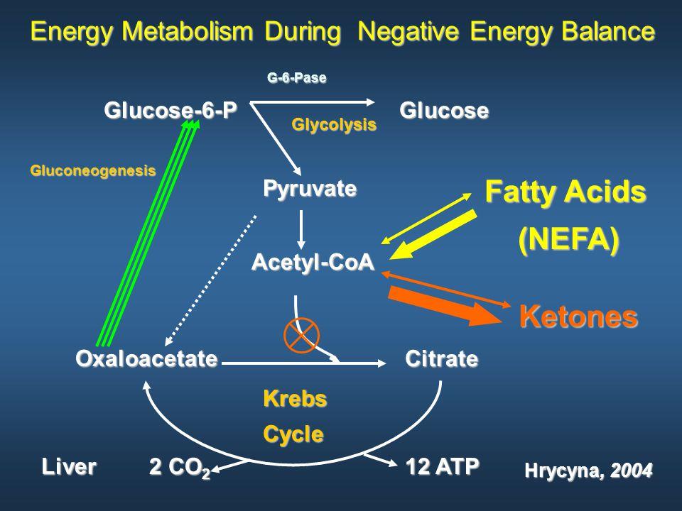 Energy Metabolism During Negative Energy Balance Citrate KrebsCycle Oxaloacetate G-6-Pase G-6-Pase Glucose-6-P Glucose Gluconeogenesis Pyruvate Acetyl-CoA Fatty Acids (NEFA) (NEFA) Ketones Glycolysis Liver Hrycyna, 2004 2 CO 2 12 ATP