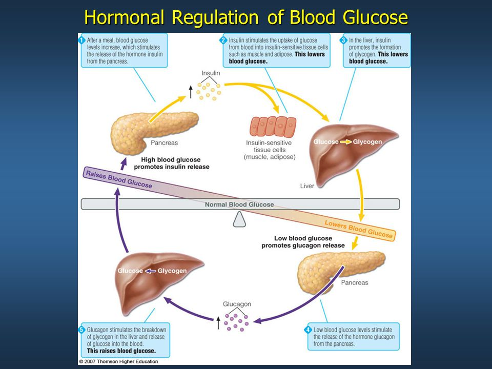 © 2007 Thomson - Wadsworth Hormonal Regulation of Blood Glucose