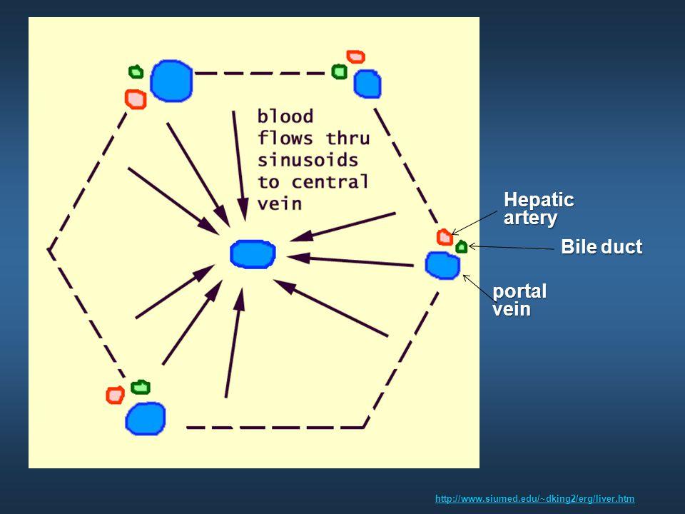 http://www.siumed.edu/~dking2/erg/liver.htm portal vein Hepatic artery Bile duct