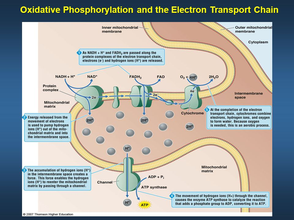 Oxidative Phosphorylation and the Electron Transport Chain