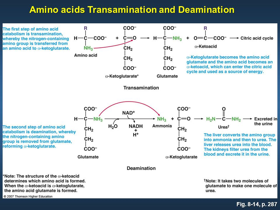 Fig. 8-14, p. 287 Amino acids Transamination and Deamination