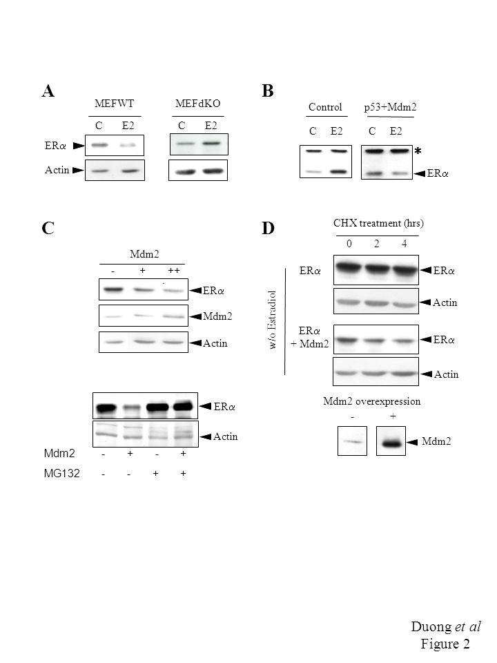 Duong et al Figure 2 ER  C E2 A Actin MEFWTMEFdKO B C ER   C E2 Controlp53+Mdm2 Mdm2 - + ++ D ER  Actin Mdm2 MG132 - + - - + + Actin ER  0 2 4 ER  Mdm2 w/o Estradiol CHX treatment (hrs) ER  + Mdm2 Actin Mdm2 overexpression - +