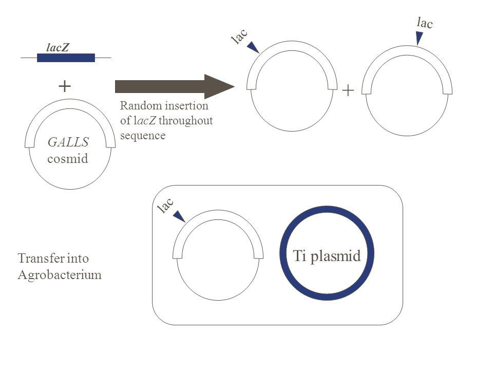 lacZ + GALLS cosmid lac Random insertion of lacZ throughout sequence + lac Transfer into Agrobacterium lac Ti plasmid