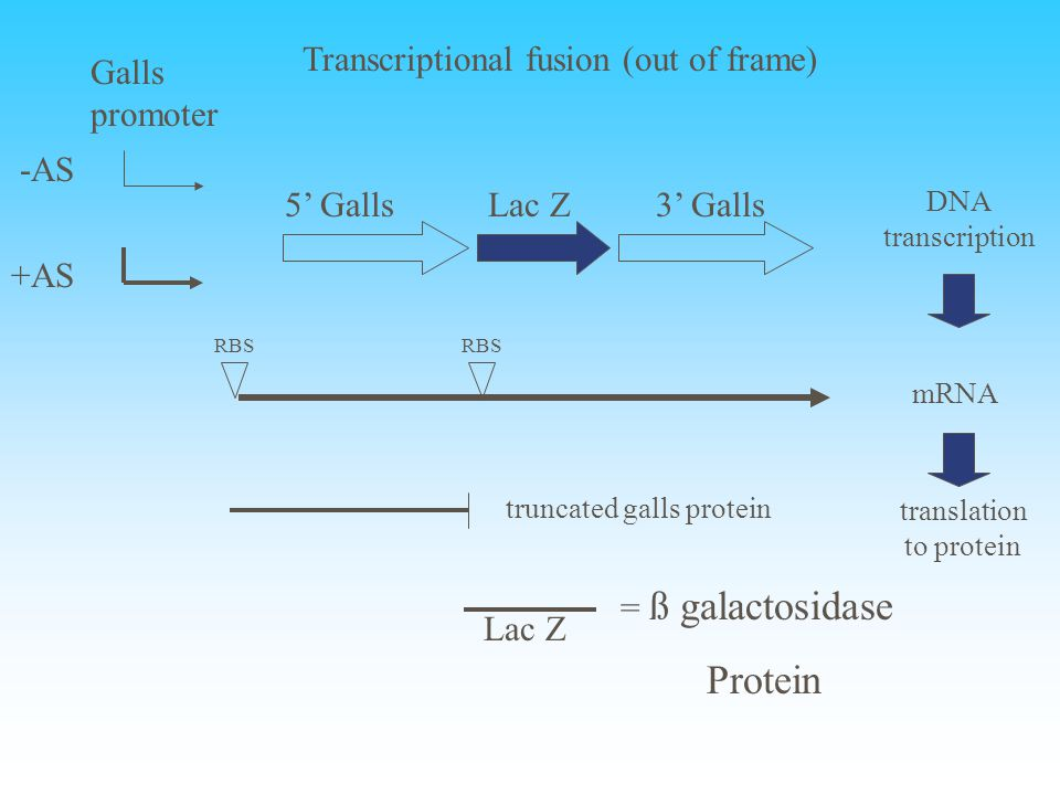 Galls promoter -AS 5' GallsLac Z3' Galls +AS DNA transcription mRNA RBS translation to protein truncated galls protein Lac Z = ß galactosidase Protein Transcriptional fusion (out of frame)