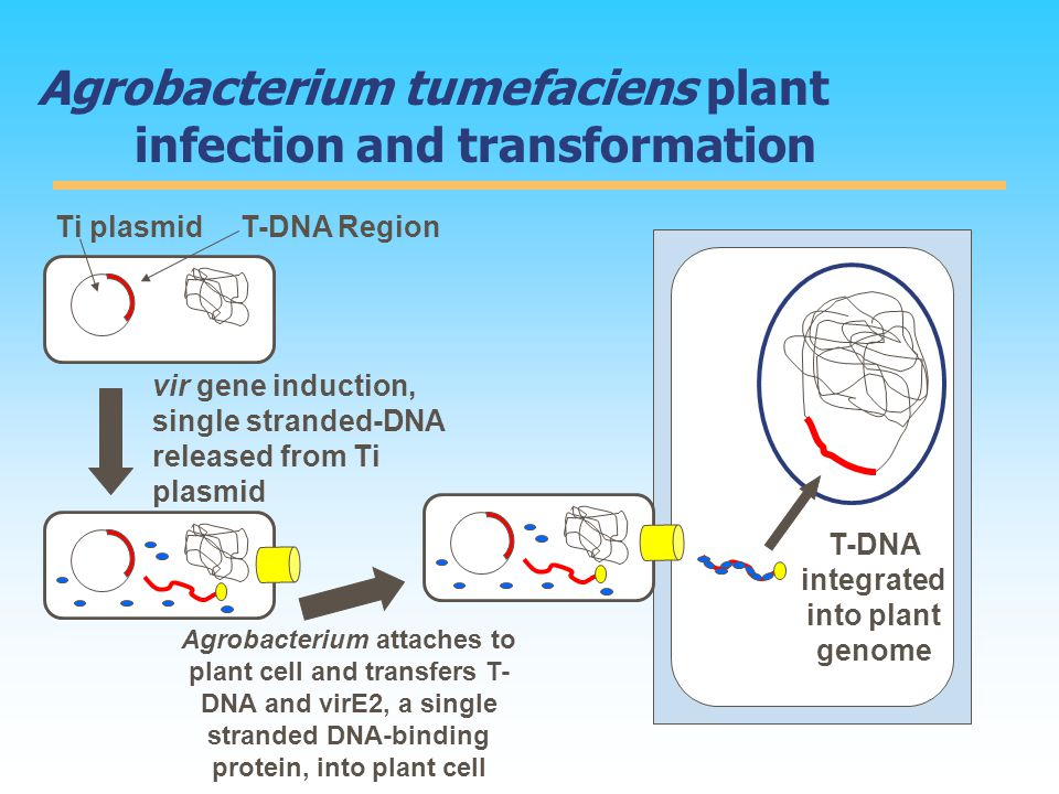 Agrobacterium tumefaciens plant infection and transformation Ti plasmidT-DNA Region vir gene induction, single stranded-DNA released from Ti plasmid Agrobacterium attaches to plant cell and transfers T- DNA and virE2, a single stranded DNA-binding protein, into plant cell T-DNA integrated into plant genome