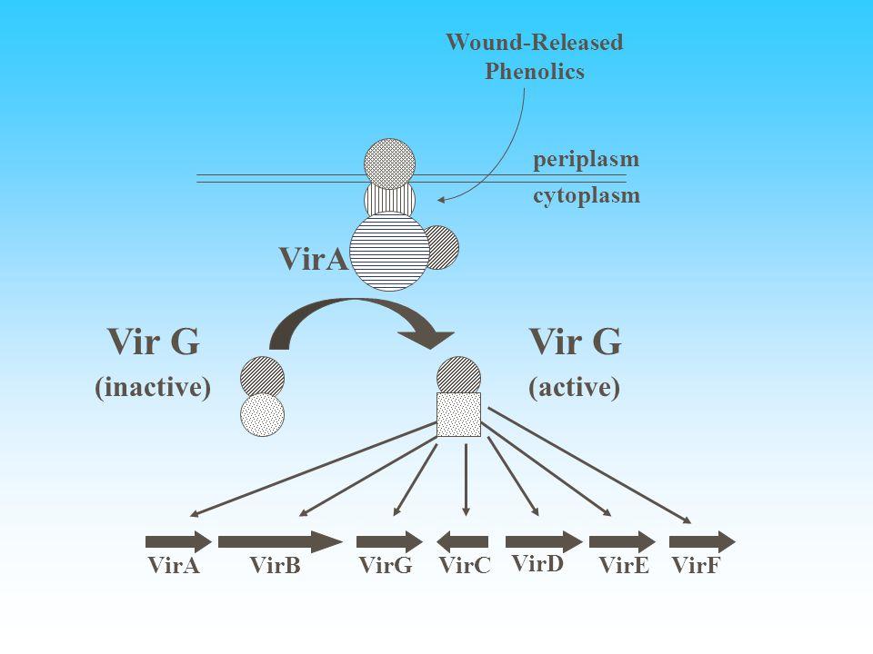 VirA cytoplasm periplasm Vir G (inactive) Vir G (active) VirAVirBVirGVirC VirD VirEVirF Wound-Released Phenolics