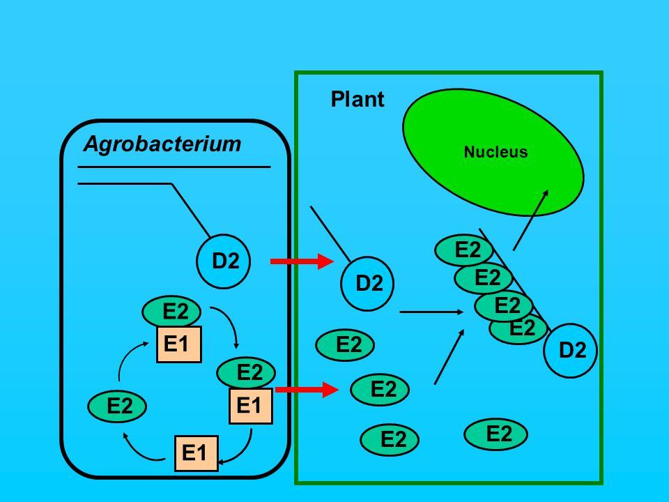 Plant D2 E2 D2 E2 Nucleus E2 Agrobacterium E2 D2 E1 E2 E1