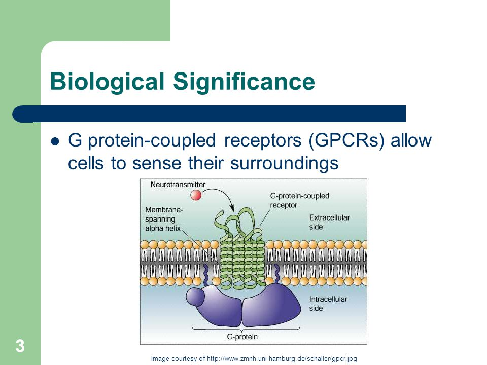 3 Biological Significance G protein-coupled receptors (GPCRs) allow cells to sense their surroundings 3 Image courtesy of http://www.zmnh.uni-hamburg.de/schaller/gpcr.jpg