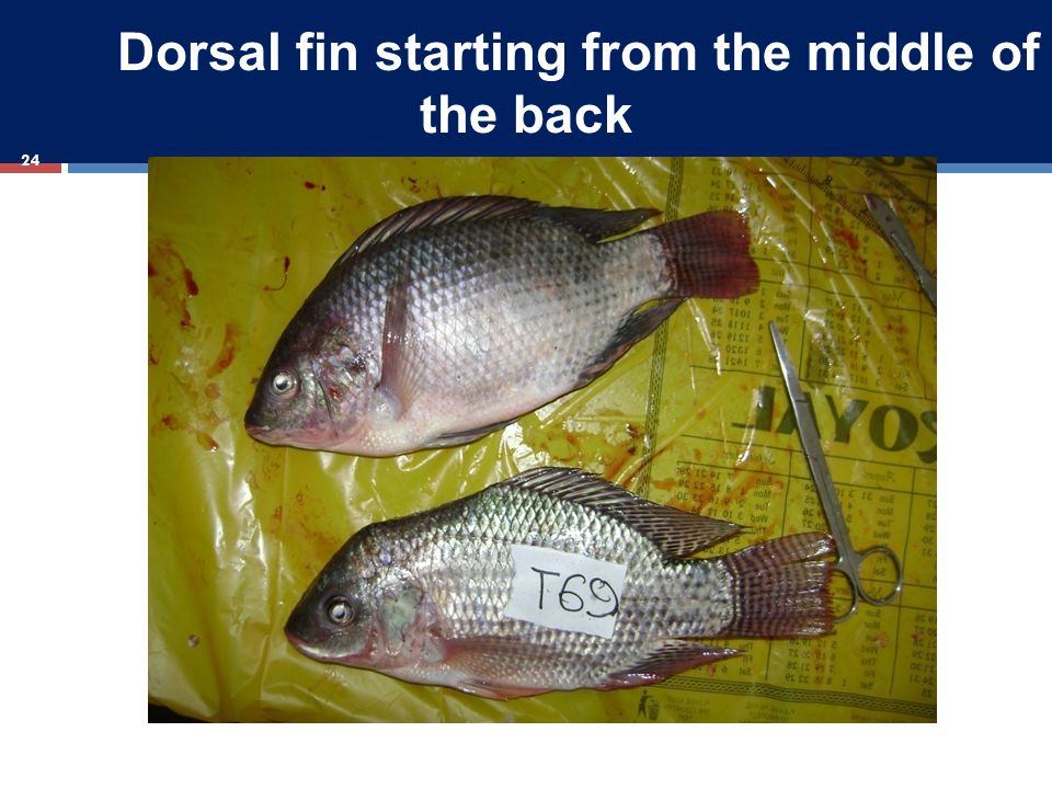 Dorsal fin starting from the middle of the back 24