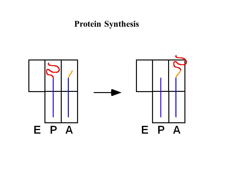 Pre-mRNA Splicing -splicing is nuclear (HeLa nuclear extracts) -requires Mg 2+ -requires ATP -(is co-transcriptional)